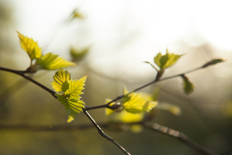 Small leaves in spring.
