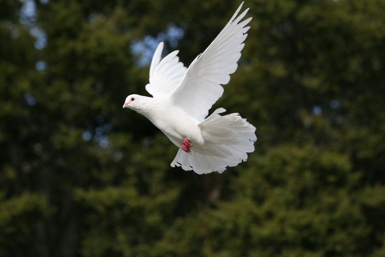 A dove which is flying.